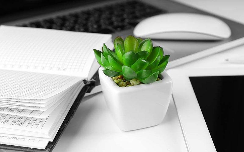 Sen đá là cây xanh phong thủy thích hợp để đặt trên bàn làm việc.